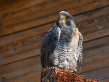 Hawk perched on the trunk Royalty Free Stock Photography