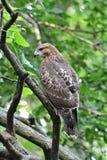 Hawk Perched Vermelho-atado em uma árvore Foto de Stock
