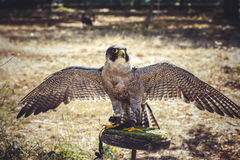 Hawk, Peregrine Falcon With Open Wings , Bird Of High Speed Royalty Free Stock Image
