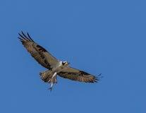 Hawk pescare un pesce con gli artigli su un fondo del cielo blu Fotografia Stock Libera da Diritti