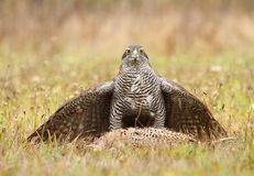 Hawk with pheasant female Stock Photos