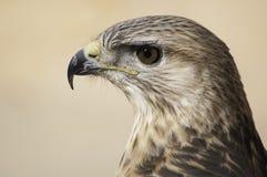 Hawk. Photo desert hawk overlooking the sharp eyes Royalty Free Stock Images