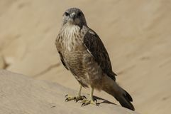 Hawk. Photo desert hawk overlooking the sharp eyes Stock Images