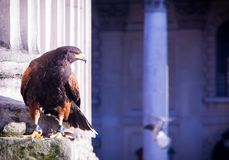 Hawk pidgeon звероловства на квадрате Trafalgar в Лондоне Стоковые Изображения RF
