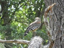 Hawk on a pine tree branch searching for food royalty free stock photography