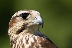 A hawk portrait Stock Photos