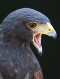 Hawk portrait. Close up, beek and eyes royalty free stock photography