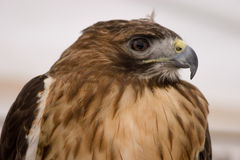 Hawk Portrait. Portrait of a red tailed hawk Stock Photography