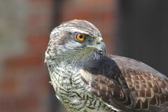 Hawk portrait Royalty Free Stock Photography