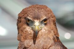 Hawk portrait  Royalty Free Stock Photo