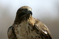 Hawk portrait Royalty Free Stock Photos