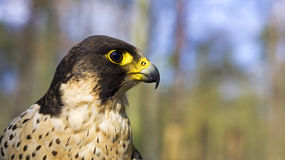 Hawk. Portrait, falcon profile view Royalty Free Stock Image