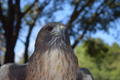 Hawk portrait. This image was taken with the idea to use the sides for inspirational quotes or ad copy. Hawk portrait stock images