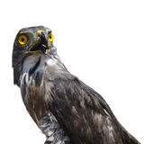 Hawk portrait Stock Images