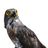 Hawk portrait. Isolated on white background Stock Images
