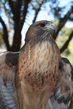 Hawk portrait for magazine cover. This image was taken in portrait mode so that it could be used as a magazine cover. Hawk with wings slightly outstretched and Royalty Free Stock Images