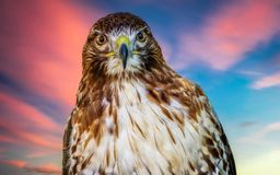 Hawk portrait royalty free stock image