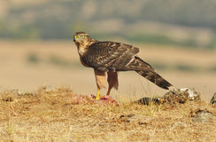 Hawk poses with food in the field Stock Photo