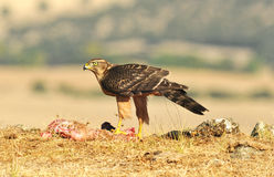 Hawk poses with food in the field Royalty Free Stock Photos