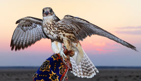 Hawk Posing. A hawk posing with a sunset backdrop Stock Photo