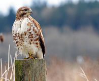Hawk on post Stock Photography