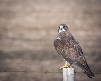 Hawk on a post Stock Photography