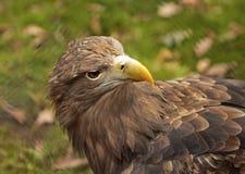 Hawk. Royalty Free Stock Photography
