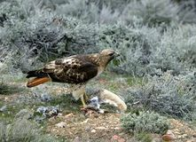 Hawk With Prey Stock Photos