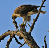 Hawk with Prey Stock Photography
