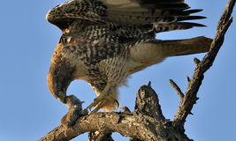 Hawk with Prey Stock Photo