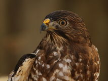 Hawk in profile. Cooper`s hawk against solid background in profile Stock Photo