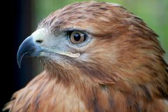Hawk profile. Hawk looking for a pray, profile portrait Royalty Free Stock Photography