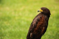 Hawk. The proud Hawk on the hunt stock photos