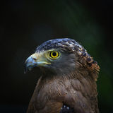 Hawk with raining Royalty Free Stock Photos
