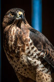 Hawk raptor Stock Image