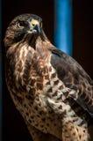 Hawk raptor. Hawk falcon raptor bird portrait Stock Image