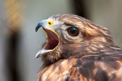 Hawk raptor. Hawk falcon raptor bird with open beak Royalty Free Stock Photo
