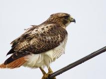 Hawk stock photography