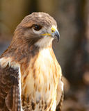 Hawk at rest. Cooper`s hawk in Florida at rest Royalty Free Stock Images