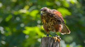 hawk, resting on the branch royalty free stock image