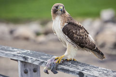 A Hawk's Dinner Stock Images