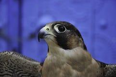 Hawk. The hawk's eye/ Photo desert hawk overlooking the sharp eyes Stock Image
