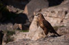 Hawk. The hawk's eye/ Photo desert hawk overlooking the sharp eyes Stock Images