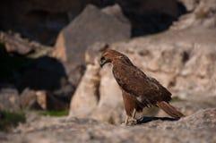 Hawk. The hawk's eye/ Photo desert hawk overlooking the sharp eyes Royalty Free Stock Photography