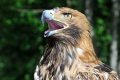 Hawk's head with open beak Stock Photo