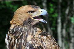 Hawk's head with open beak Stock Images