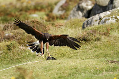 Hawk's Landing Gear Down Royalty Free Stock Images