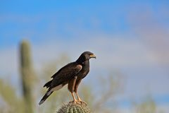 Hawk in saguaro, Arizona Royalty Free Stock Photography