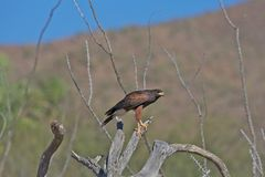 Hawk in saguaro, Arizona Royalty Free Stock Image