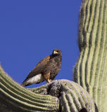 Hawk in Saguaro Stock Image